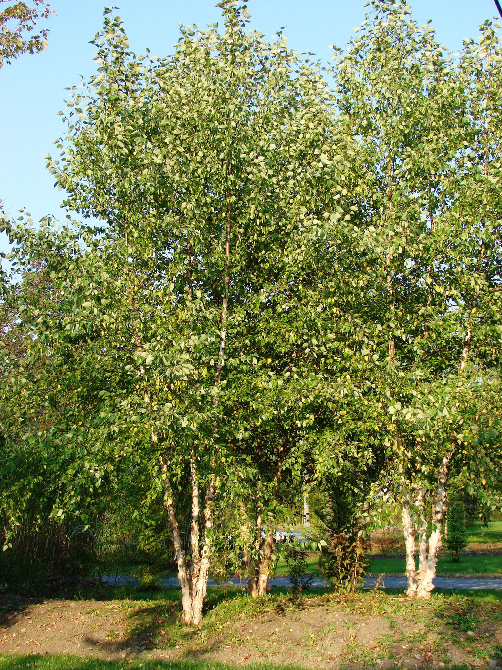 Clump River Birch