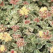 Sedum 'Tri-colour'