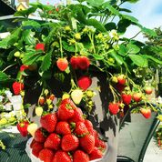 Delizz Stawberry Plants