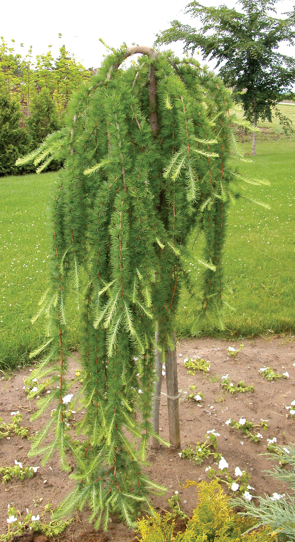 Weeping Larch Std.