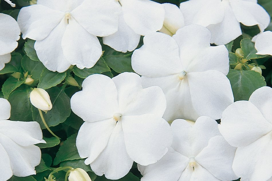 Impatiens -4 packs