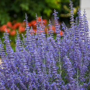 Russian Sage- 'Denim and Lace'