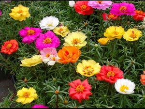 Portulaca- Mix Colours