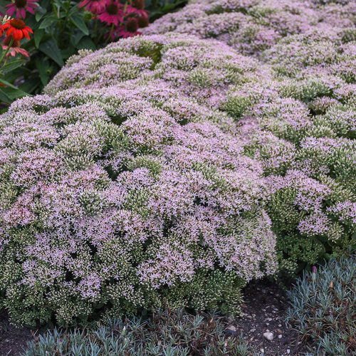 Sedum- Upright