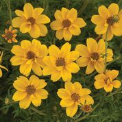 "Bidens ""Yellow Crown"""