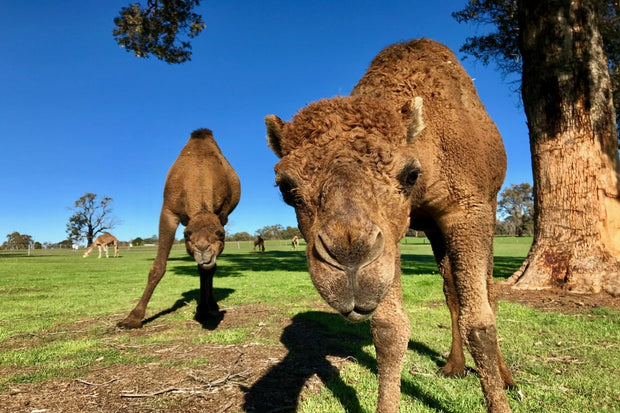 Adopt a Camel - Sponsorship for 6 months