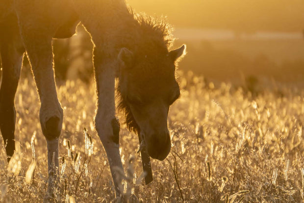 Adopt a Camel - Sponsorship for 12 months