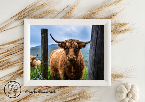 Highland Cattle Photo Print