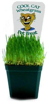 2 - Cool Cat Wheatgrass