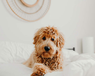 Why You Should Let Your Dog Sleep in Your Bed (Hint: LinenFit Makes Washing Easy)