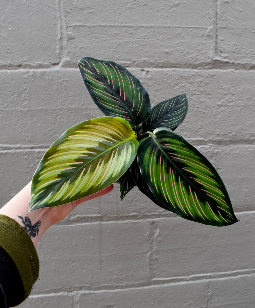 calathea beauty star - Light: Bright filtered lightWater: They require consistent watering and don't want their soil to dry out much between waterings. We recommend doing frequent light waterings and allowing the soil to consistently feel like a rung out sponge.Extra Tips: Calathea's leaves curl up at night, this is totally normal, don't panic! They will unfurl again in the morning.