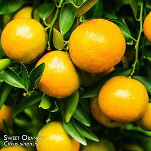 100% Pure Sweet Orange Essential Oil - Citrus sinensis | 10ml
