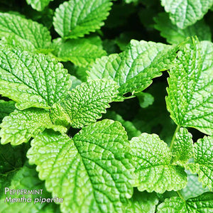 100% Pure Peppermint Essential Oil - Mentha x piperita | 10ml