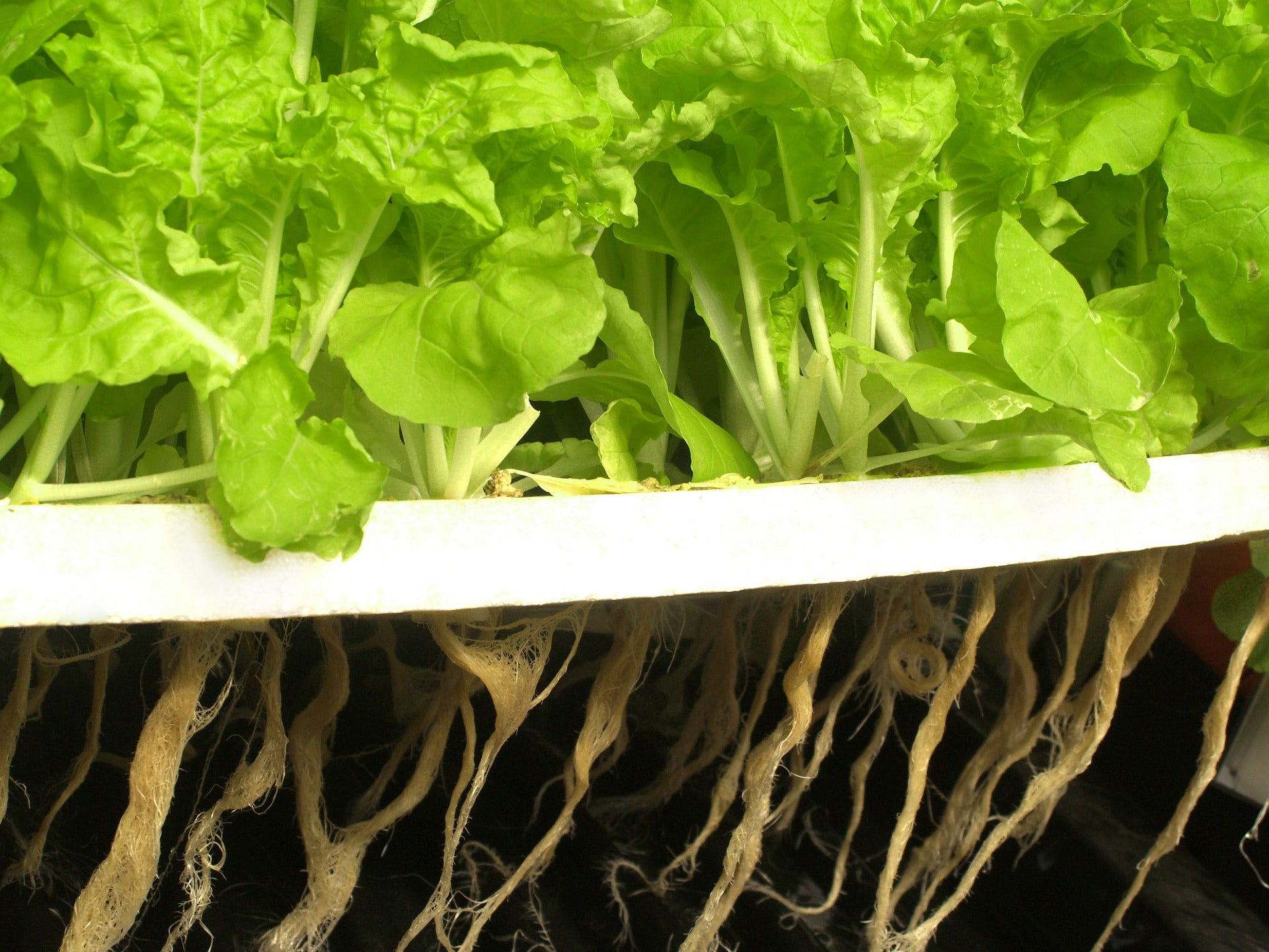 Roots of lettuce growing from a hydroponics solution