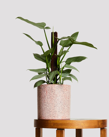 philodendron-silver-sword