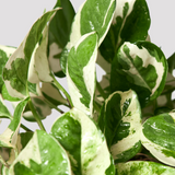 Pothos Snow Queen