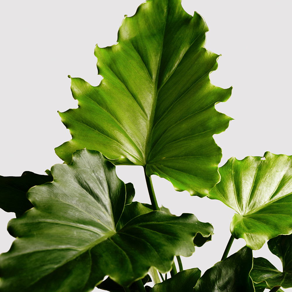 Philodendron Shangri La The Plant People