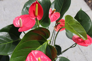 Pink Flamingo Plant (Anthurium)