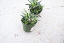 Load image into Gallery viewer, 4in Haworthia Limifolia