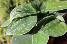 Load image into Gallery viewer, Satin Pothos 4in