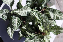 Load image into Gallery viewer, Zebra Plant 4in
