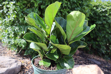 Load image into Gallery viewer, Fiddle Leaf Fig(dwarf)