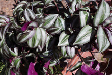Load image into Gallery viewer, Purple Tradescantia Zebrina