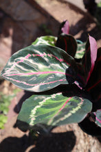 "Load image into Gallery viewer, Calathea Rosea Picta ""Dottie"""