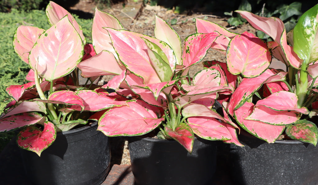 Aglaonema Favonian