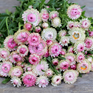 Strawflower 'Silvery Rose'