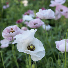 Load image into Gallery viewer, Shirley Poppy 'Mother of Pearl'