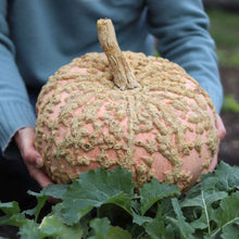 Load image into Gallery viewer, Ornamental Squash 'Galeux d'Eysines'