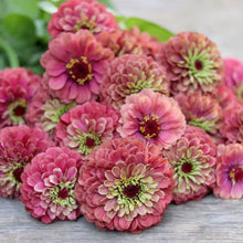 Load image into Gallery viewer, Zinnia 'Queen Red Lime'