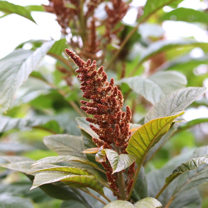 Amaranthus 'Hot Biscuits'
