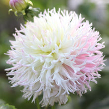Load image into Gallery viewer, Dahlia 'Nadia Ruth'