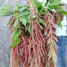 Load image into Gallery viewer, Amaranthus 'Coral Fountain'