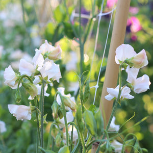 Sweet Pea 'Piggy Sue'