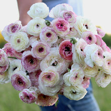 Load image into Gallery viewer, Italian Ranunculus 'Bianco Striato'