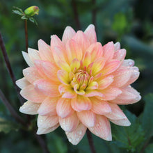 Load image into Gallery viewer, Dahlia 'Summer's End'