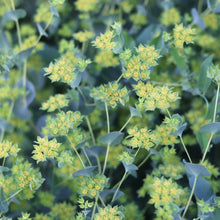 Load image into Gallery viewer, Bupleurum 'Green Gold'