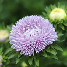 Load image into Gallery viewer, Aster 'Lady Coral Lavender'