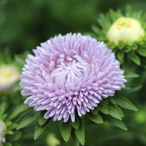 Aster 'Lady Coral Lavender'
