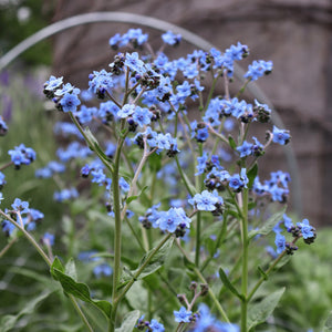Chinese Forget-Me-Nots 'Blue Showers'