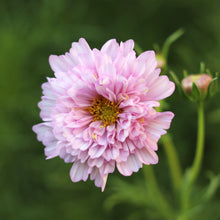 Load image into Gallery viewer, Cosmos 'Double Click Bicolour Pink'