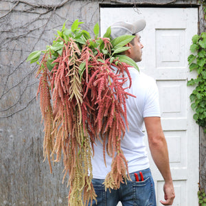 Amaranthus 'Coral Fountain'
