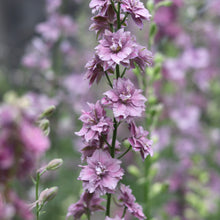 Load image into Gallery viewer, Larkspur 'Misty Lavender'