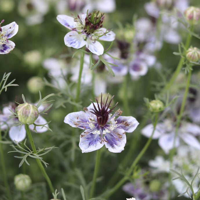 Love-in-a-Mist 'Delft Blue'