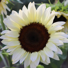 Load image into Gallery viewer, Sunflower 'Pro Cut White Nite'