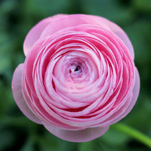 Load image into Gallery viewer, Italian Ranunculus 'Pastelo'