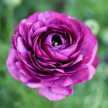 Load image into Gallery viewer, Italian Ranunculus 'Malva'